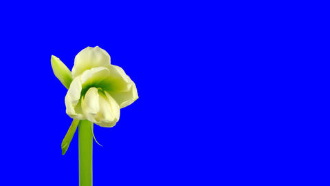Time-lapse of opening white amaryllis bud blue chroma key 13ck Footage