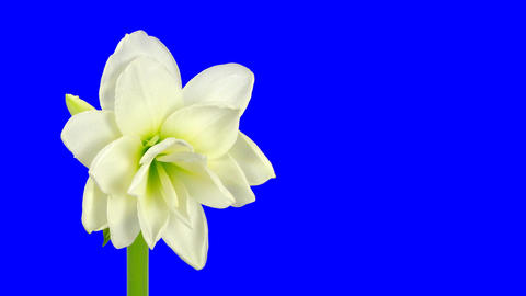 Time-lapse of opening white amaryllis bud blue chroma key... Stock Video Footage
