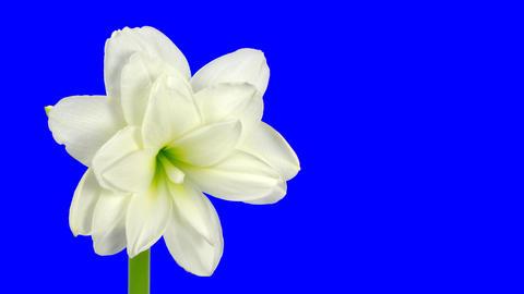 Time-lapse of opening white amaryllis bud blue chroma key... Stock Video Footage