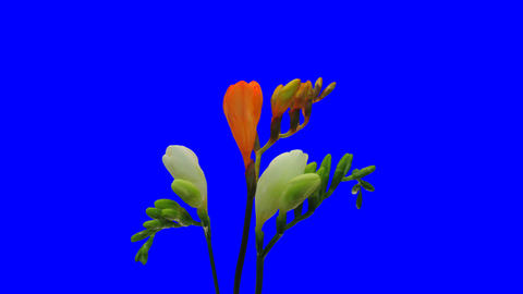 Time-lapse Opening White Orange Freesia 5ck With Blue Chroma Key stock footage