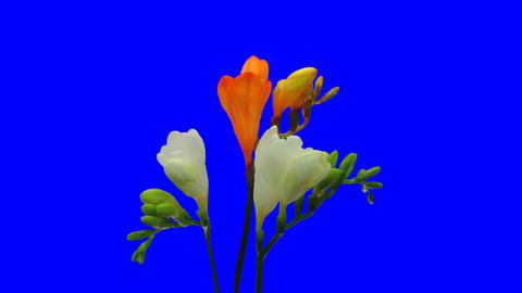 Time-lapse opening white orange freesia 5ck with blue... Stock Video Footage