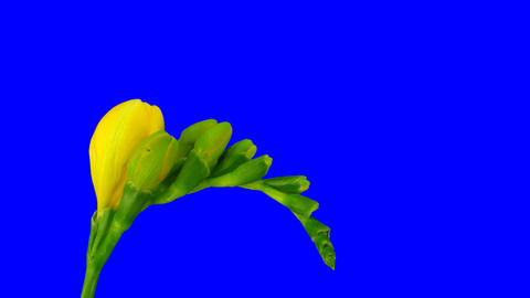 Time-lapse of opening yellow freesia flower 1ck blue... Stock Video Footage