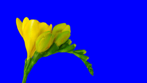 Time-lapse of opening yellow freesia flower 1ck blue…, Live Action