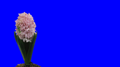 Time-lapse growing pink hyacinth Christmas flower 1ck... Stock Video Footage