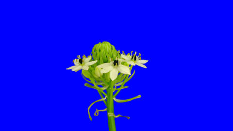 Time-lapse of opening white african lily 1ck blue chroma key Footage