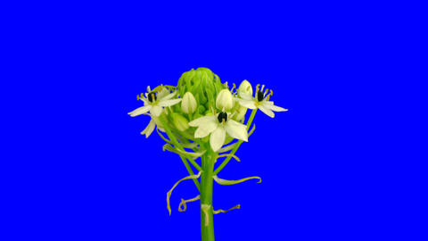 Time-lapse of opening white african lily 1ck blue chroma key Stock Video Footage