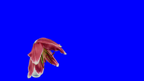 Time-lapse of dying red lily 4ck blue chroma key... Stock Video Footage