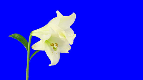 Time-lapse of dying white lily 13 with blue chroma key Stock Video Footage