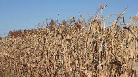 Corn field 04 Stock Video Footage