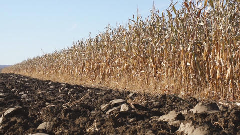Corn field 05 Footage