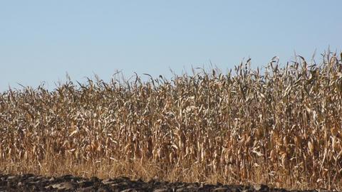 Corn field 07 Stock Video Footage
