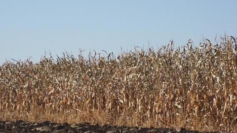 Corn field 07 Footage