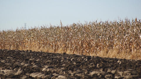 Corn field 09 Footage