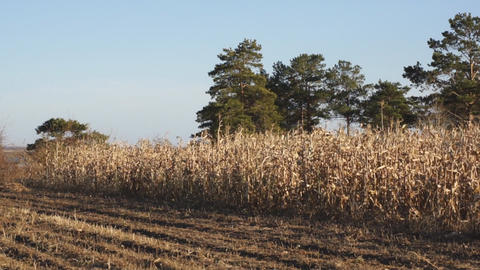 Corn field 15 Stock Video Footage