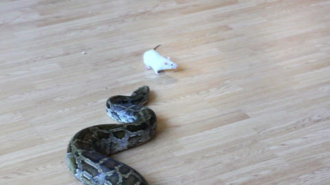 feeding snake - python eating rat Footage