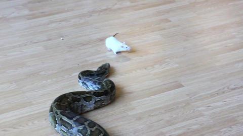 feeding snake - python eating rat Stock Video Footage
