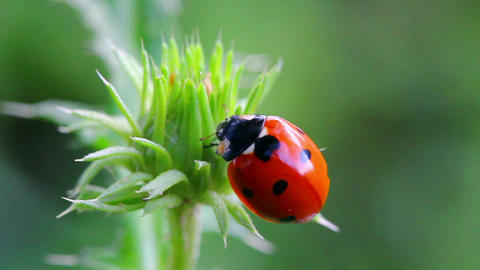 ladybug on green grass macro Footage