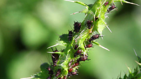lot of aphids on plant macro Stock Video Footage