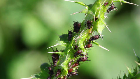 Lot Of Aphids On Plant Macro stock footage
