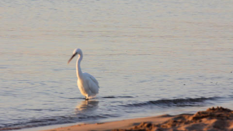 Egyptian heron bird walking on coastline Stock Video Footage