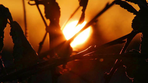 setting sun behind silhouettes of leaves Stock Video Footage