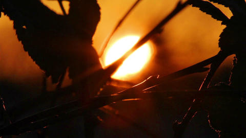 Setting Sun Behind Silhouettes Of Leaves stock footage