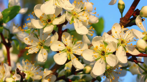 cherry tree flowers macro Stock Video Footage