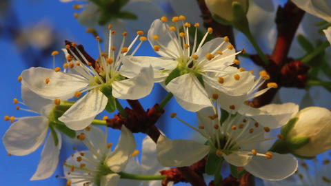 cherry tree flowers macro Footage