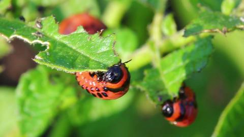 colorado beetle larva (leptinotarsa decemlineata) Stock Video Footage