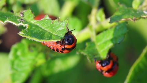 colorado beetle larva (leptinotarsa decemlineata)  Footage