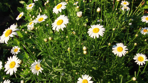 camomiles at summer Stock Video Footage