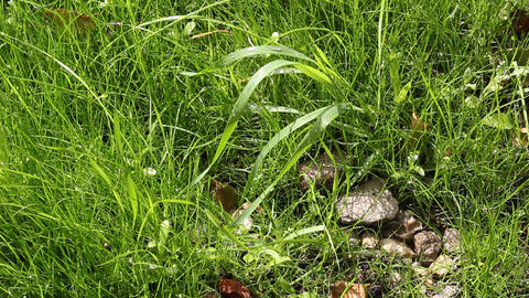 Wet Stones On The Green Grass stock footage