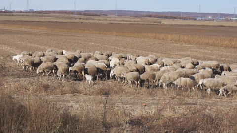 Herd of sheep in the autumn field Footage