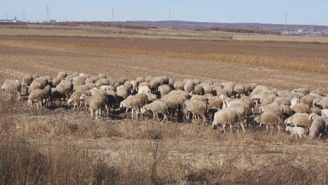 Herd of sheep in the autumn field Stock Video Footage