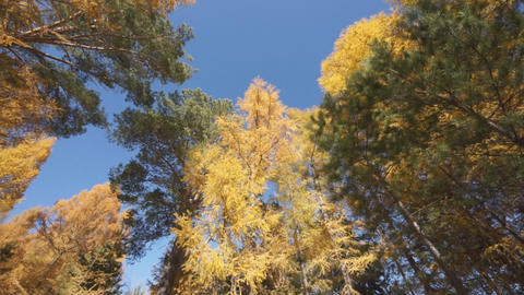 Yellow larch trees 02 Stock Video Footage
