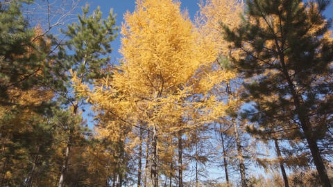 Yellow larch trees 05 pan up Footage
