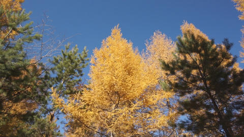 Yellow larch trees 05 pan up Stock Video Footage