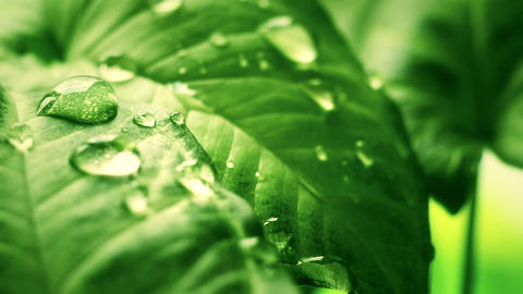 leaf with drops close-up sequence Footage
