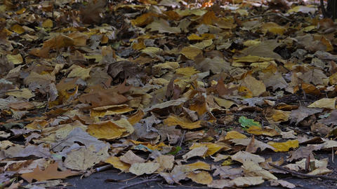 Walk on the leaves Stock Video Footage