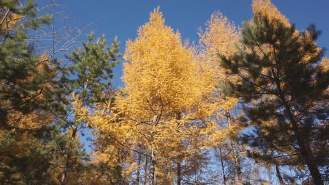 Yellow larch trees 04 Stock Video Footage