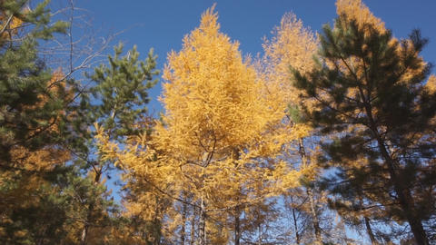 Yellow Larch Trees 04 stock footage