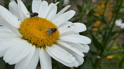 Bees Pollinating a white daisy on a breezy day. (F Stock Video Footage