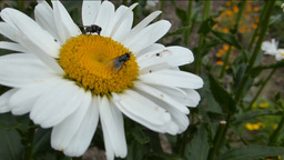 Bees Pollinating A White Daisy On A Breezy Day. (F stock footage