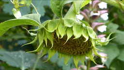Close-up view of a sunflower (SUNFLOWER--1B) Footage