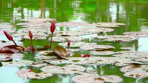 flowers on pond in park during rain Stock Video Footage