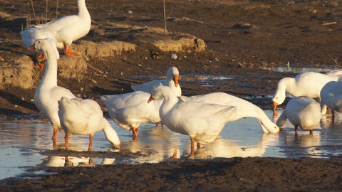 Heihe gooses 07 Stock Video Footage