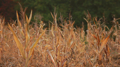 Old Corn Germ Stock Video Footage