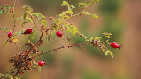 Fruits Of Wild Rose 1 stock footage