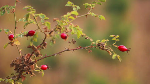 Fruits of Wild Rose 1 Stock Video Footage