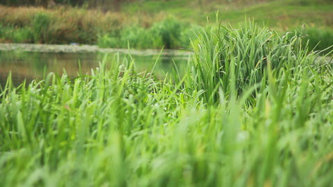 Green Grass on Water Stock Video Footage